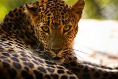 Leopard © foto365.at