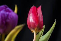 Rote Tulpe © Foto 365